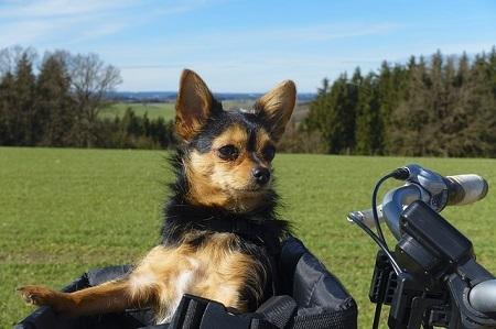 Afbeelding van een hondje in een tas op de fiets