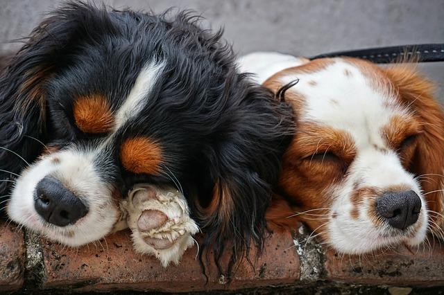 De voornaamste reden voor een hondenfietskar met goede vering: je hond. Afbeelding met twee hondjes die slapen