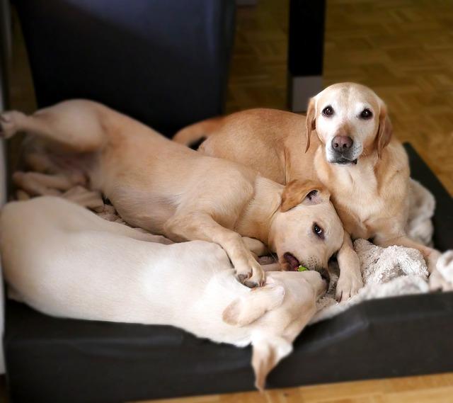 Wat is de beste hondenmand voor een labrador?