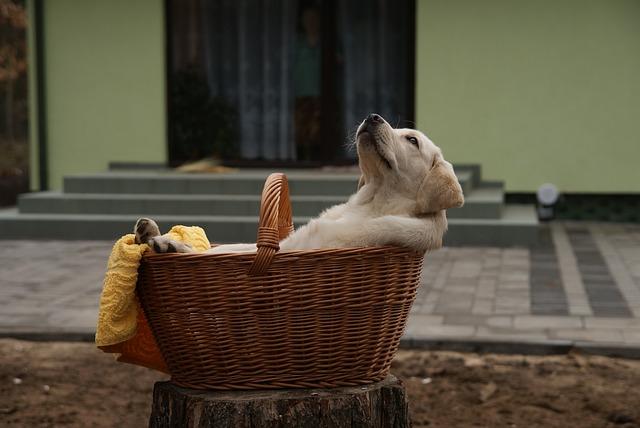 Afbeelding van een labrador puppy in een hondenmand