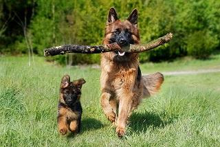 Afbeelding van een volwassen hond en puppy