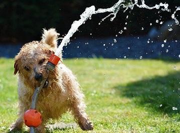 Afbeelding van een hond die met waterspeelgoed aan het spelen is