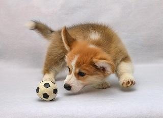 Afbeelding van een puppy die speet met een bal
