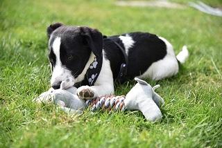Afbeelding van een puppy met een speeltje