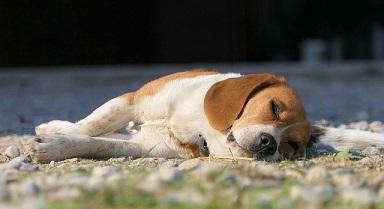 Afbeelding van een slapende Beagle