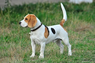 Afbeelding van een Beagle hond
