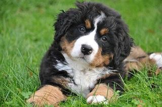 Afbeelding van een Berner Sennenhond een van de mooiste honden