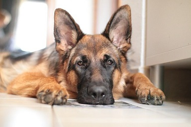 Afbeelding van een Duitse Herder hond