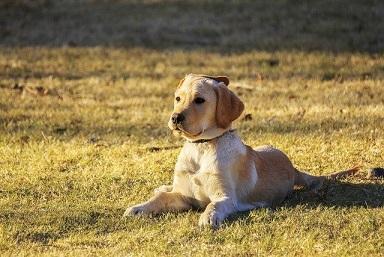 Afbeelding van een Golden Retriever puppy, een van de minst agressieve honden
