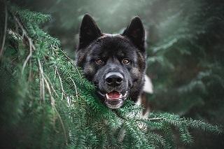 Afbeelding van een Akiba: japans nationale hondenras