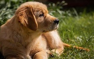 Afbeelding van een Labrador Retriever