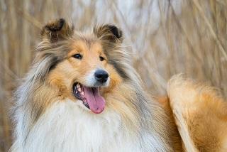 Afbeelding van een Langharige Collie, erg trouwe honden