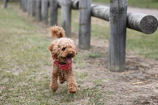 Afbeelding van een mooie Toy Poedel hond