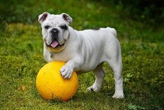Afbeelding van een Bulldog met een bal