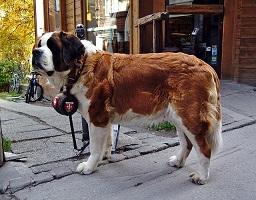 Afbeelding van een Sint Bernard hond met een vaatje om zijn nek