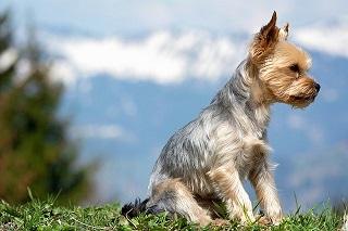 Afbeelding van een Yorkshire Terrier in het gras