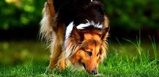Afbeelding van een langharige Collie hond