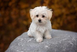 Afbeelding van een Malterez, een van de mooiste kleine honden