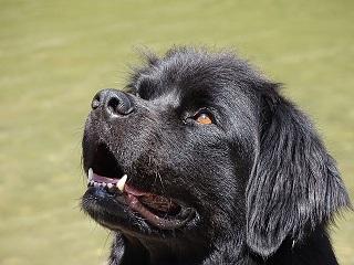 Afbeelding van een Newfoundlander hond met weinig agressie