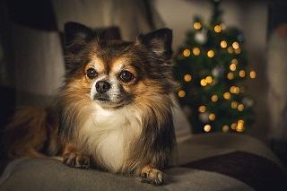 Afbeelding van een Chihuahua, kleine trouwe honden