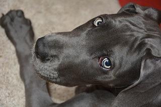 Afbeelding van een Deense Dog een van de minst agressieve grote honden