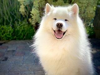 Afbeelding van een Samojeed hond