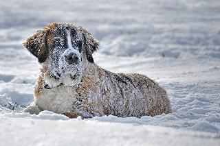 Afbeelding van een Sint Bernard in de sneeuw