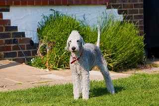 Afbeelding van een Bedlington Terrier hond