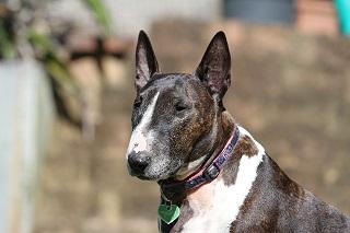 Afbeelding van een Bull terrier hond