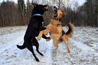 Afbeelding van agressieve honden