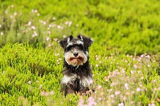 Afbeelding  van een Schnauzer hond in het gras