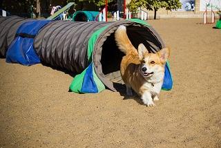 Afbeelding van een hondentunnel met een Corgi