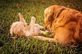 Afbeelding van twee lieve Golden Retriever honden