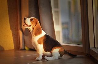 Afbeelding van een lieve Beagle hond