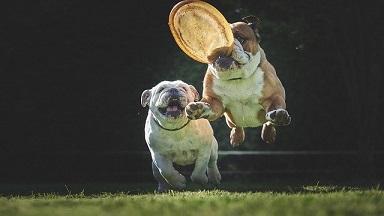 Afbeelding van twee Bulldogs, de hond past goed bij katten