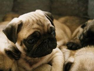 Afbeelding van een lieve kleine hond: de Mopshond