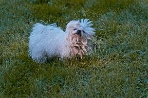 Afbeelding van de Malteser hond