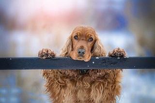 Afbeelding van de Cockerspaniel hond