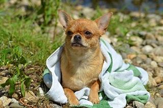 Afbeelding van een hondje met een handdoek