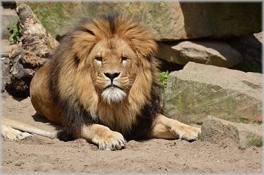 Afbeelding van een leeuw in Artis
