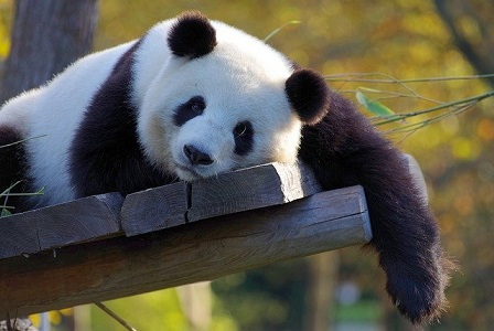 Afbeelding van een reuzenpanda in de dierentuin met plank