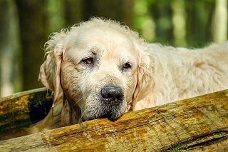 Afbeelding van wat een oude hond is